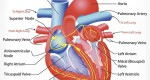 The correlation of Viagra treatment and cardiovascular system disease